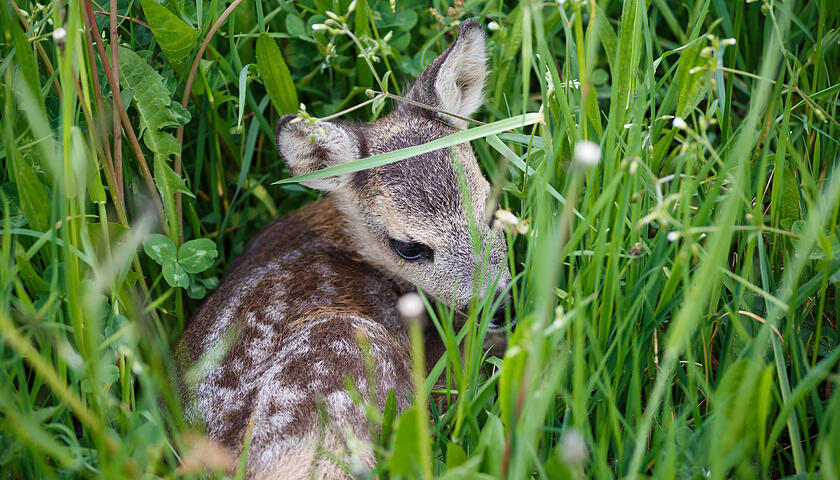 Young deer lying on a meadow. Summer fauna and flora.Wildlife.